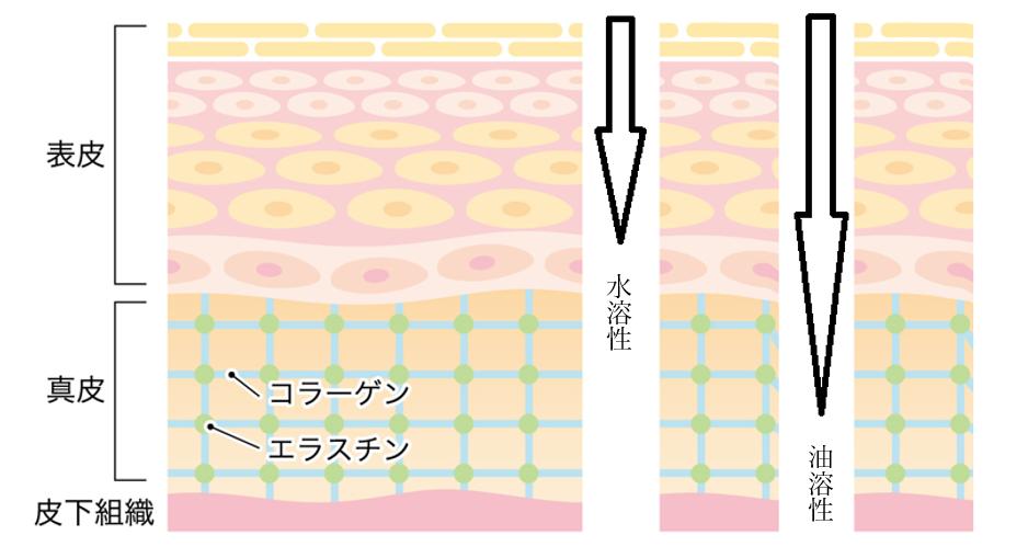 ビタミンC誘導体浸透性